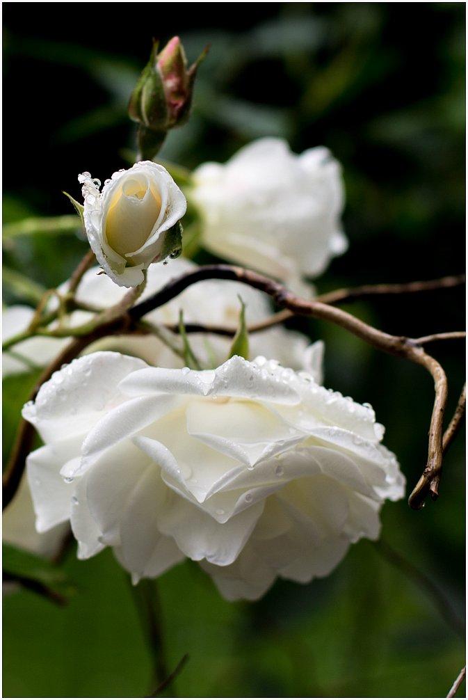 2014-05-27-Rose-50-mm-02-von-02.jpg